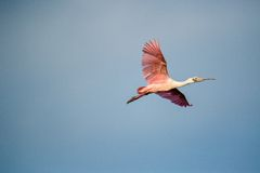 Adult roseate spoonbill (Platalea ajaja) in flight against blue sky. Royalty Free Stock Photo