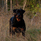Adult rottweiler female stand in the sun. Adult female Rottweiler dog stand on dry grass on the sun in autumn Royalty Free Stock Photos
