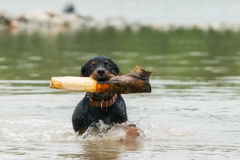 Adult Rottweiler Playing In The River royalty free stock photo
