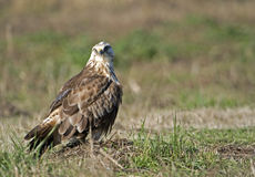 Adult Rough legged hawk Stock Image