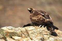 Adult royal eagle watches from his innkeeper. An adult royal eagle watches from his innkeeper stock image