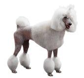 Adult Royal Poodle Stock Image