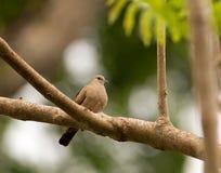 Ruddy Ground-Dove Royalty Free Stock Photos