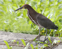 Adult Rufescent Tiger Heron - Panama Stock Image
