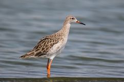 Adult ruff in the water. Adult ruff stands in the water Stock Photos