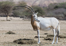 Adult sahara scimitar Oryx (Oryx leucoryx) Royalty Free Stock Photography