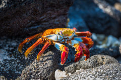 Adult Sally Lightfoot crab on sunny rocks Stock Photos