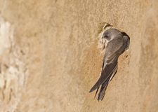 An adult sand martin Riparia riparia resting on sand near its nest at the coast in Hundested Denmark. The sand has an warm brown. An adult sand martin resting on stock photography
