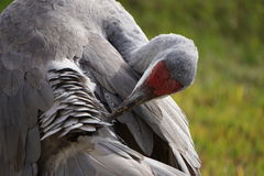 Adult Sandhill Crane Royalty Free Stock Photo