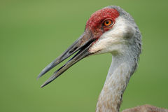 Adult Sandhill Crane Stock Photos