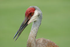 Adult Sandhill Crane Royalty Free Stock Photography