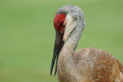 Adult Sandhill Crane Stock Photo