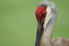 Adult Sandhill Crane Royalty Free Stock Images