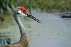 Adult Sandhill Crane Royalty Free Stock Photos