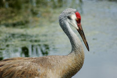 Adult Sandhill Crane Stock Photography