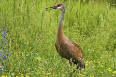 Adult Sandhill Crane, Grus canadensis, feeding in meadow Royalty Free Stock Photos