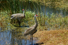 Adult Sandhill Cranes Royalty Free Stock Images