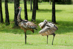 Adult Sandhill Cranes Royalty Free Stock Photo