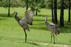Adult Sandhill Cranes Royalty Free Stock Photos