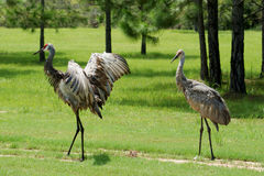 Adult Sandhill Cranes Royalty Free Stock Image