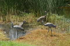 Adult Sandhill Cranes with Young Stock Photo