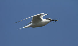 An adult Sandwich Tern, Sterna sandvicensis, in flight with a fish in its beak. Stock Photo