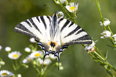 Adult of Scarce Swallowtail (Iphiclides podalirius Royalty Free Stock Photo