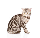Adult Scottish cat looking away. isolated on white background Royalty Free Stock Photography