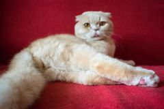 Adult Scottish fold cat lies on a red background. Castrate a male cat. Feline castration neutering surgery. Procedure that remove stock photos