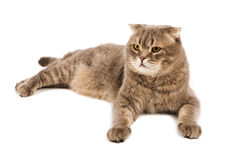 Adult  Scottish Fold cat lies on white  background Stock Images