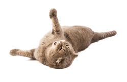 Adult  Scottish Fold cat lies on white background Stock Photography