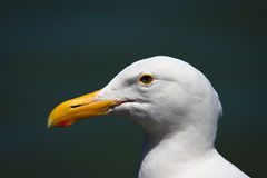 Adult seagull Stock Photos