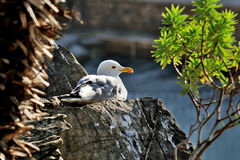 Adult seagull larus sits on the rock Stock Photos