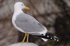 Adult seagull sit ground no fly Stock Photos
