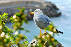 Adult seagull sits on the rock Stock Photos