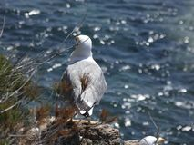 Seagull On A Cliff Looking At The Horizon Stock Photo
