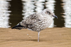 Adult Seagull Royalty Free Stock Images