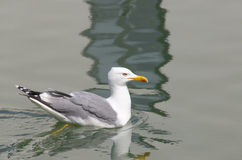 Adult seagull swimming on calm water Stock Photos