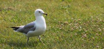 Adult Seagull -w/clover Stock Photos