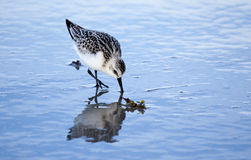 Adult Semipalmated Sandpiper Feeding On Shore Royalty Free Stock Photo