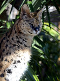 Adult Serval Close-up Stock Image