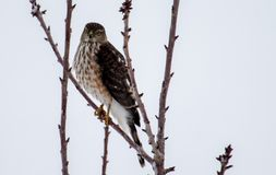 Sharp-shinned Hawk perched in a tree. Adult Sharp-shinned Hawk perched in a tree in winter Stock Images