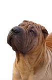 Adult sharpei dog portrait Stock Image