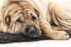 Adult Sharpei on floor looking Royalty Free Stock Photography