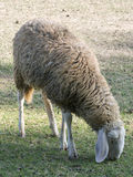 Adult sheep. An adult sheep living in a farm Stock Photos