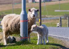 An adult sheep and baby lamb stand next to a lamp post on the side of the road stock photos