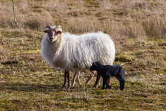 Adult sheep with black and white lamb Stock Photos