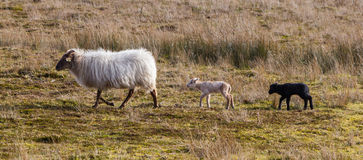 Adult sheep with black and white lamb Royalty Free Stock Photos