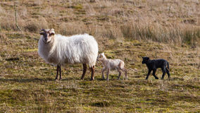 Adult sheep with black and white lamb Stock Images