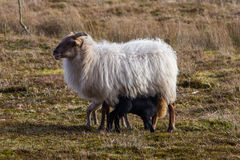 Adult sheep with black and white lamb Royalty Free Stock Photo